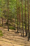 Pine forest. Summer landscape Royalty Free Stock Photo