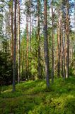 Pine forest. Summer landscape Stock Photos