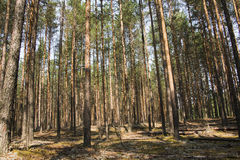 Pine forest in a nice day Royalty Free Stock Photos