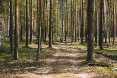 Pine forest in a nice day Stock Photos