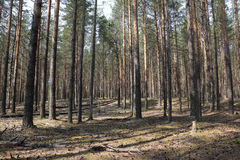 Pine forest in a nice day Royalty Free Stock Image