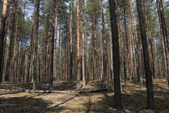 Pine forest in a nice day Stock Photo
