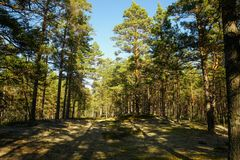 Pine forest at noon. Summer season royalty free stock images