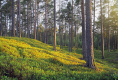 Pine Forest. A Nordic Pine Forest in Evening Light stock image