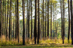 Pine forest in Northern Thailand Royalty Free Stock Photography