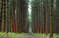 Pine forest in Notinghamshire. The pine forest in Nottinghamshire in England royalty free stock photography