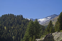 Pine forest in Obergurgl Royalty Free Stock Photo
