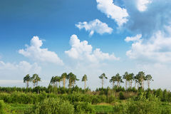 Pine forest over sky and a meadow Royalty Free Stock Images