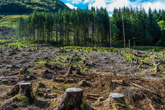 Pine forest pach exploitation. Pine tree forestry exploitation in a sunny day near Glencoe, in the Highlands of Scotland. Stumps and logs show that Royalty Free Stock Photo