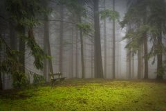 Pine, Forest, Pad, Glade, Misty Royalty Free Stock Image