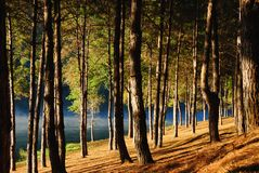 Pine forest at Pang Ung, Mea Hong Son Province, Thailand. Stock Photo
