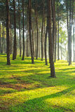Pine forest at Pang Ung in the morning Royalty Free Stock Photo