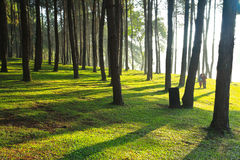 Pine forest at Pang Ung in the morning Stock Images