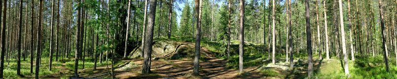 Pine forest panorama Royalty Free Stock Image