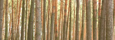 Pine forest panorama Stock Photos