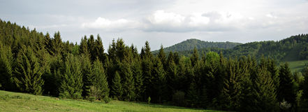 Pine Forest. Panoramic view of mountain pine forest at sunny spring day with cloudy sky in background Royalty Free Stock Photo