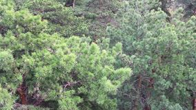 A pine forest in the park with a bird's-eye view stock footage