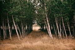 Pine forest. Path on the pine forest stock photos