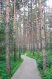 The pine forest path Stock Image