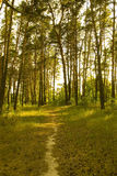 Pine forest. Path through a sunlit pine forest Stock Photos