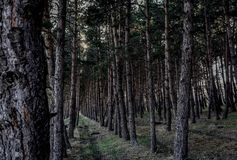 Pine forest path . natural . Royalty Free Stock Images