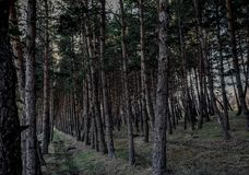 Pine forest path . natural . Stock Photography