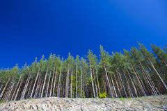 Pine forest in perspective. With blue sky Royalty Free Stock Photography