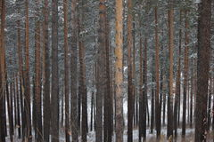 Pine forest. Photo taken on 25.11.2016 Stock Photos