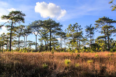 Pine forest in Phukadueng Royalty Free Stock Images
