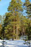 A pine forest. The picture pine forest spring sunny day Royalty Free Stock Images