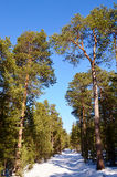 A pine forest. The picture pine forest spring sunny day Stock Photos