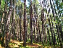 Pine forest. The pine forest royalty free stock images