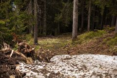 Pine forest. With little snow spring time Royalty Free Stock Photos