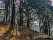 Pine forest and pine trees in nature background.Pine forest in Langtang National Park,north of the Kathmandu Valley,Nepal. Pine forest and pine trees in nature stock images