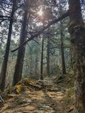 Pine forest and pine trees in nature background.Pine forest in Langtang National Park,north of the Kathmandu Valley,Nepal. Pine forest and pine trees in nature stock photos