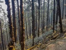 Pine forest and pine trees in nature background.Pine forest in Langtang National Park,north of the Kathmandu Valley,Nepal. Pine forest and pine trees in nature royalty free stock images