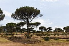 Pine forest (Pinus pinea) with Massif des Maures, Provence, Southern France Stock Images