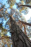 Bottom view of mast pine. Pine forest in Pitsunda in Abkhazia. Bottom view of high mast pines royalty free stock image