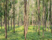 Pine forest plantation Royalty Free Stock Photo