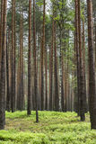 Pine forest in Poland Stock Images
