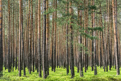 Pine forest in Poland Stock Photos