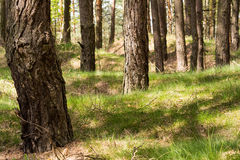 Pine forest. In Poland on sunny day Royalty Free Stock Images