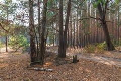 Pine forest in Polesie in Ukraine Royalty Free Stock Photos