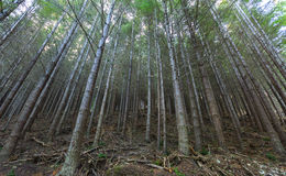 Pine forest in Queenstown New Zealand Royalty Free Stock Photos