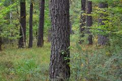 Pine forest after rain royalty free stock photography
