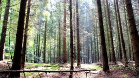 Pine forest after rain grassy and fresh. Scent of natural  pine forest after rain fresh air in Germany Stock Photos