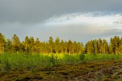 Pine forest after the rain. Royalty Free Stock Image
