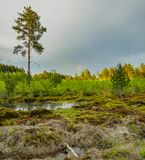 Pine forest after the rain. Royalty Free Stock Images