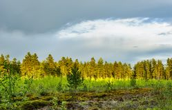 Pine forest after the rain. Royalty Free Stock Photos