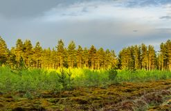 Pine forest after the rain. Stock Photo